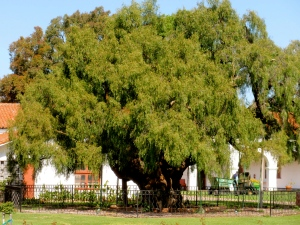 Oldest pepper tree in California