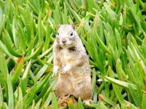 California burrowing grey squirrel