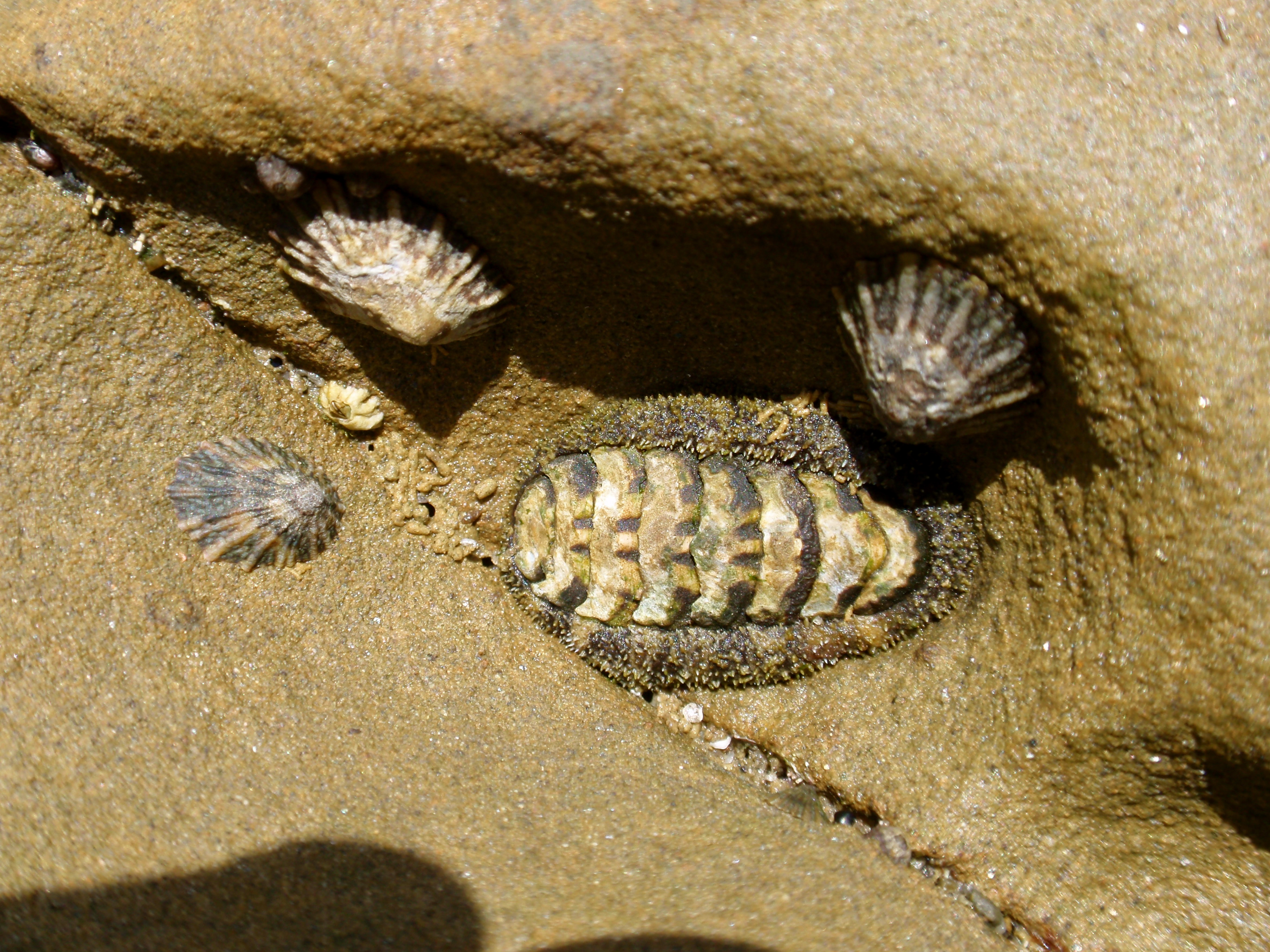 Tide pools paint your landscape conspicuous chiton nvjuhfo Choice Image