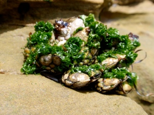 barnacles draped with sea lettuce