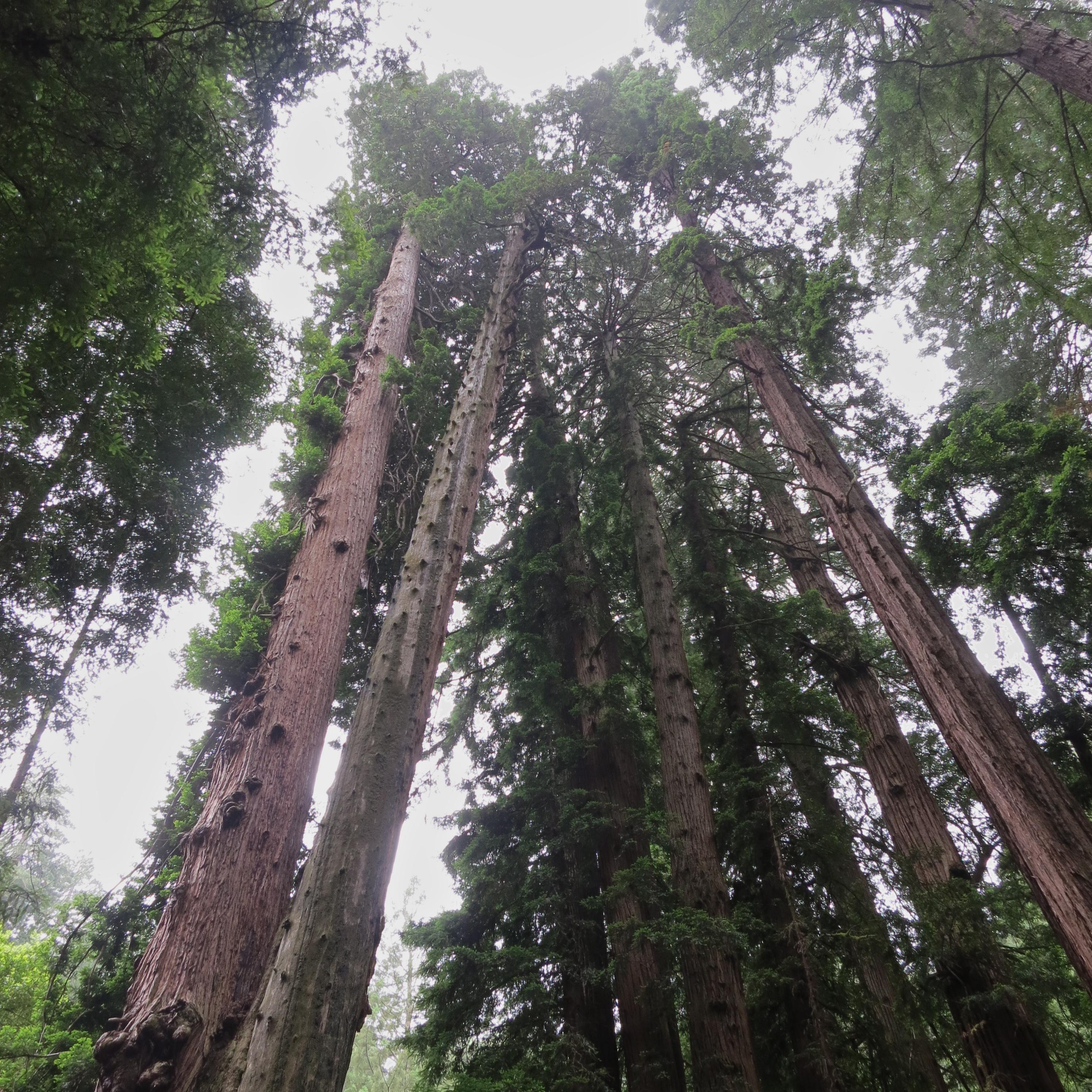 Redwood Ring