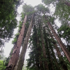 The Tallest of Them All ~ Muir Woods National Monument