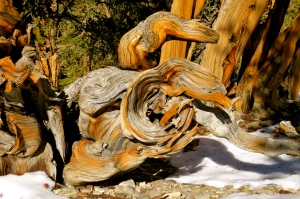 Where is Methuselah? ~ Ancient Bristlecone Pine Forest, CA
