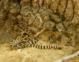 Rattlesnake ~ Sequoia NP, CA