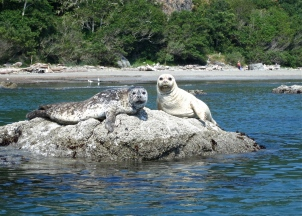 Trinidad Bay harbor seals ~ CA coast