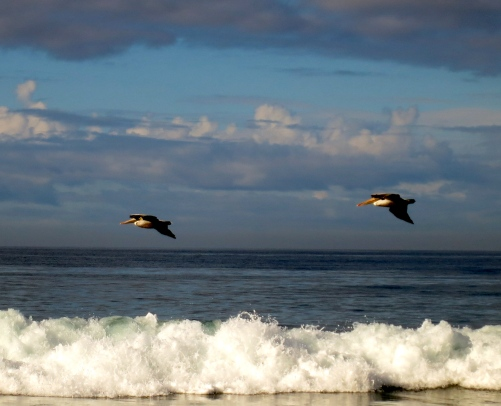 Brown pelicans over San Elijo beach ~ So Cal