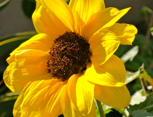 Golden garden sunflower