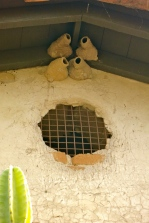Cliff swallow mud nests