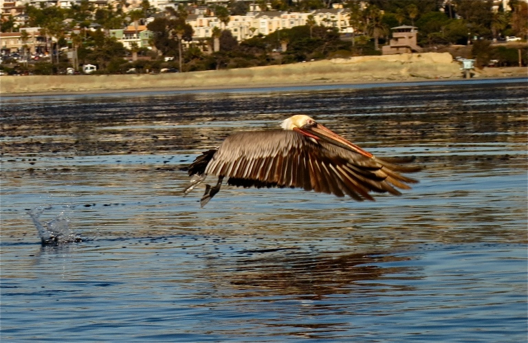 Brown pelican skimming the surface