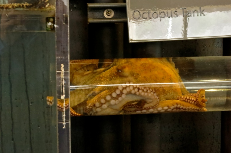 An octopus, moving from one tank to another, awaiting feeding