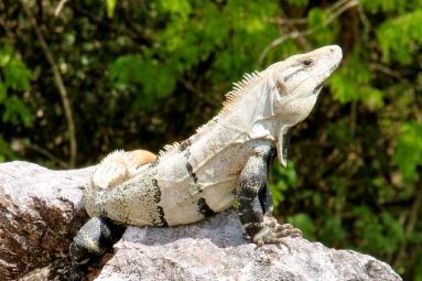 Green iguana ~ Teotihuacan