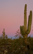 Stately saguaro, home to the cactus wren