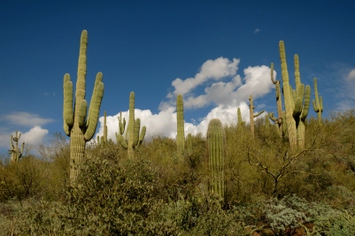 Saguaros against a cerulean blue sky