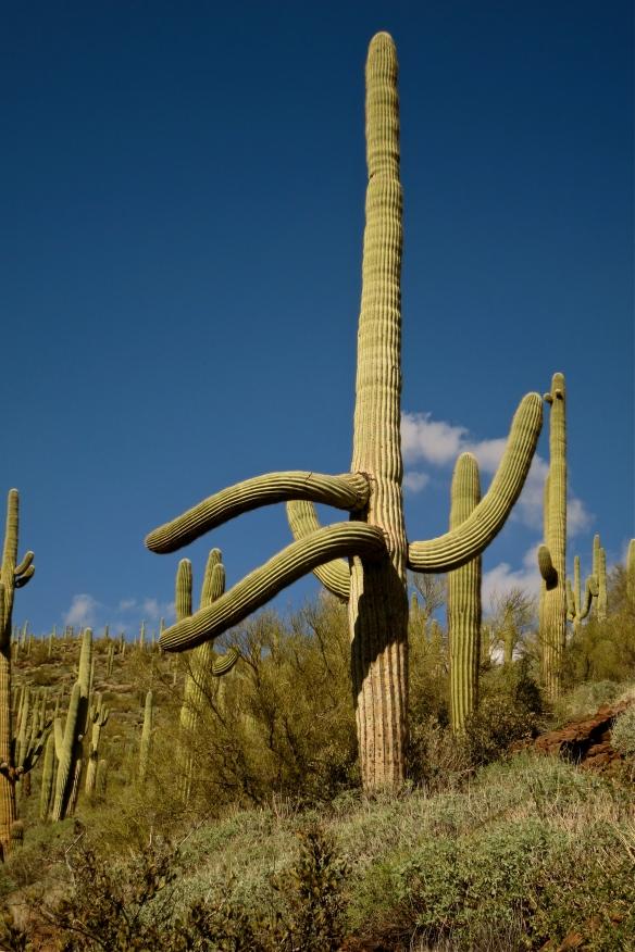 dancing saguaro