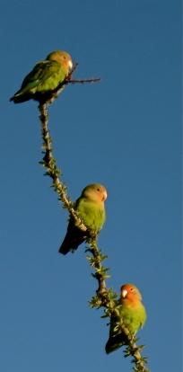 Lovebird menage a trois?