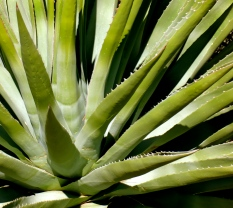 Gorgeous agave plant