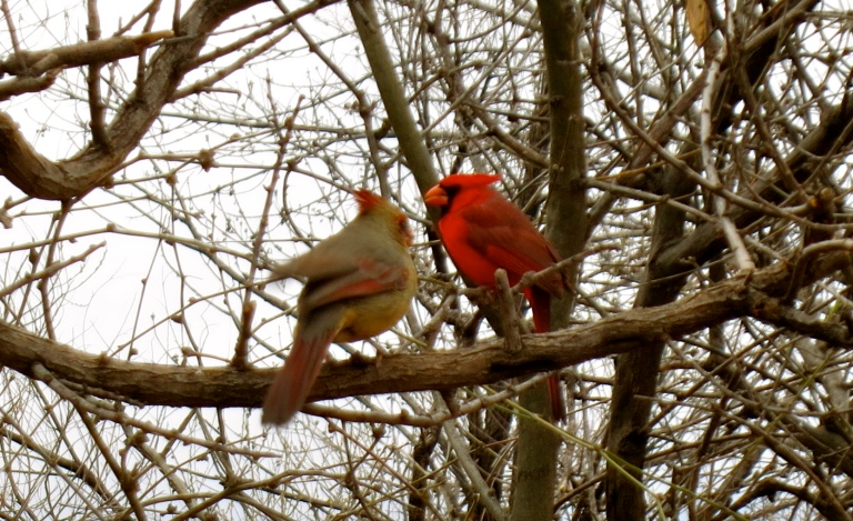 A pair of cardinals hiding in the thicket