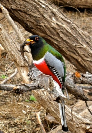 Elegant Trogon meets Mr. Lizard