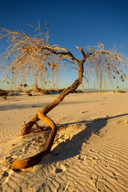 Tenacious tree anchored in the sands nearing sunset