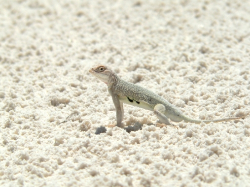 Bleached earless lizard - photo credit nps.gov