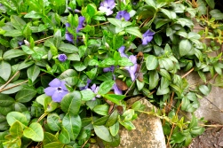 Carpet of vinca