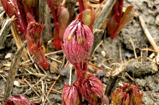 Peony bud soon to bloom