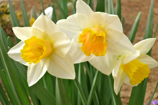 Cream and golden daffodils