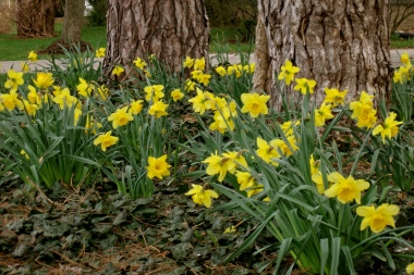 Daffodils dipping their golden heads in the breeze