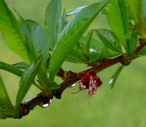 Heavy dewdrops