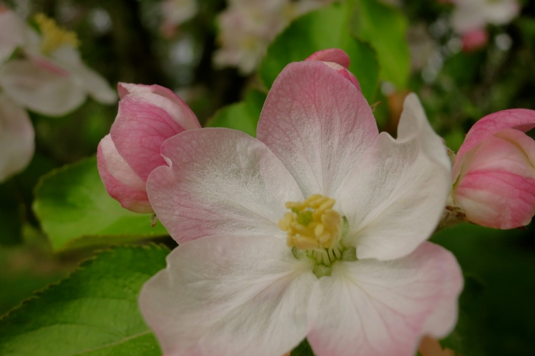 fragile apple blossom