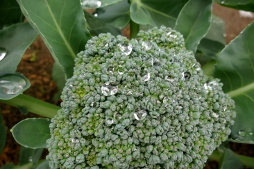 dancing dewdrops on broccoli