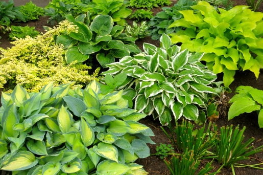 many hosta varieties