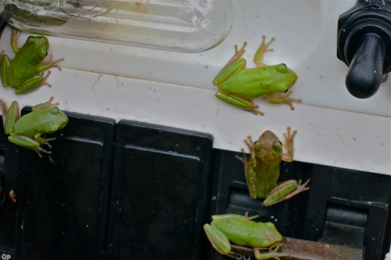 Raining tree frogs!