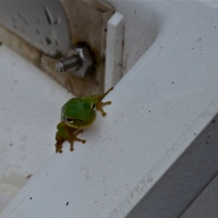 It's Raining Frogs!!! ~ St. George Island, FL