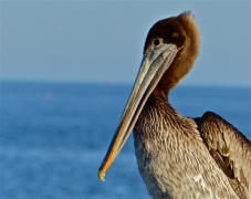 Pelican on the pier