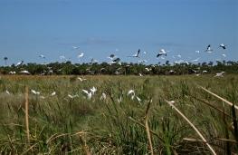 Wood storks and egrets take flight.