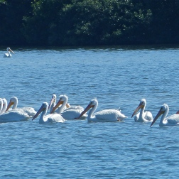 Elusive white pelicans who neither Pam nor I could coax closer to shore