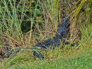 Mama gator and her pod