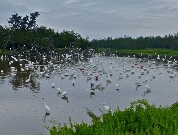 Hundreds of egrets with a splash of pink coloring the landscape.