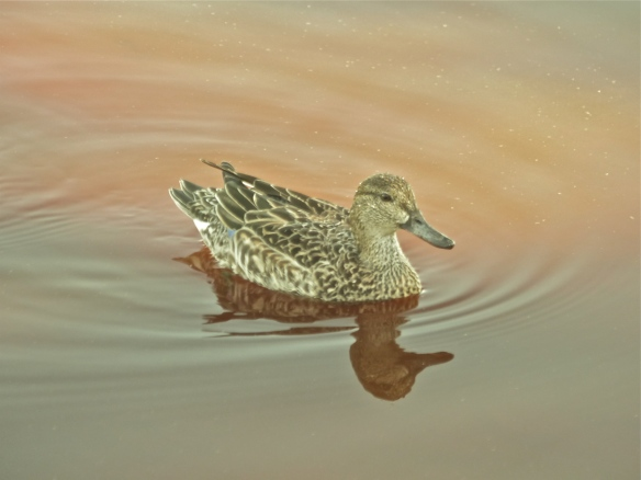 Mottled duck at Mrazek Pond