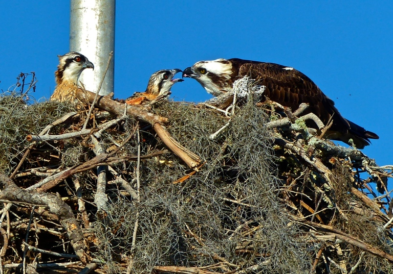 A tender moment captured as an osprey feeds her chicks