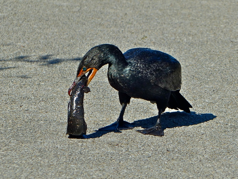 A cormorant desperate to enjoy a big breakfast before having it stolen away.