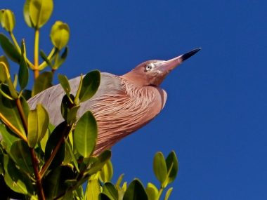 Reddish egret spotted in the mangrove canopy