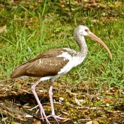 Brown ibis
