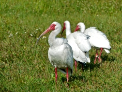 A congregation of white ibis