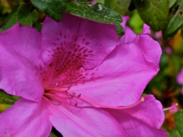 Beautiful azalea from the gardens