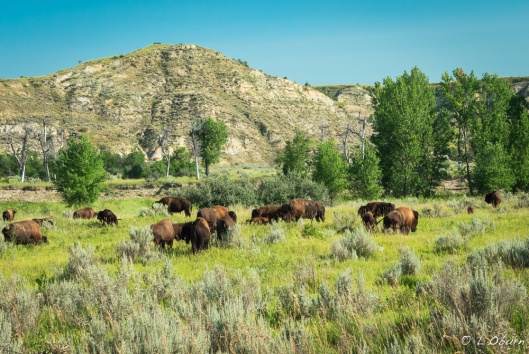 Bison freely roam these plains.
