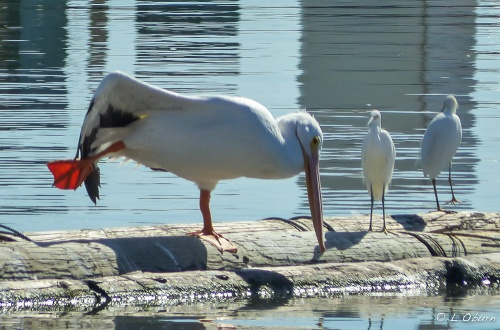The yoga instructor for the day, giving a quick lesson to a watchful egret.