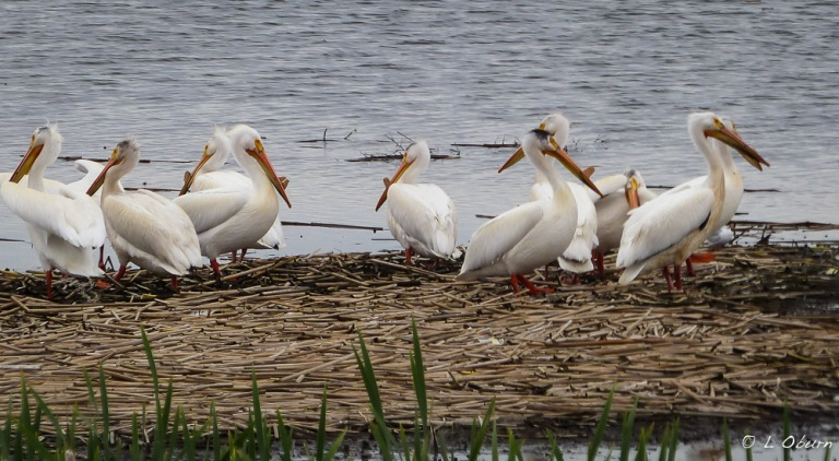 White pelicans at Tule Lake