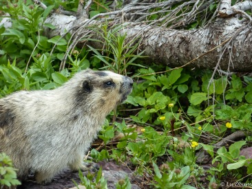 A quick marmot shot before his retreat into the brush